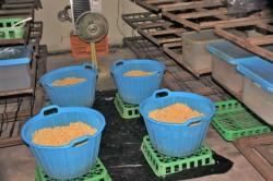 煮豆を乾かす